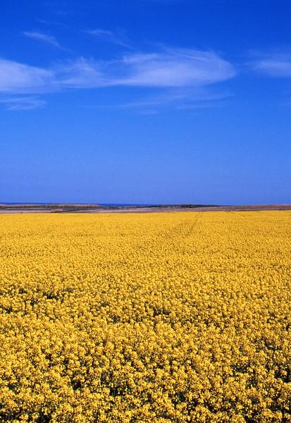 Yellow field of rapeseed - Near Aberdeen, Scotland - May 7, 1989