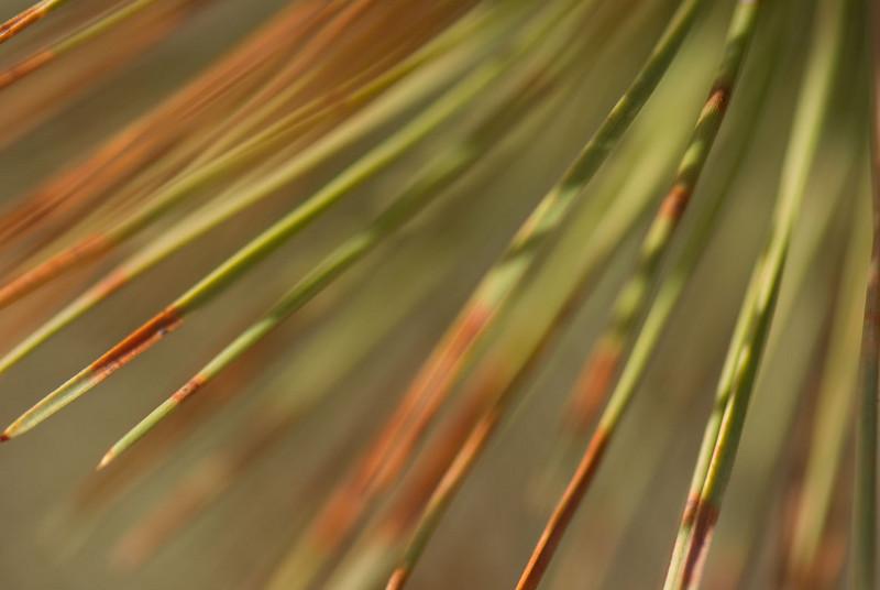 pine-needles.jpg