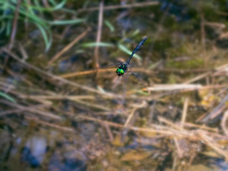 Mocha Emerald (Somatochlora tenebrosa), male