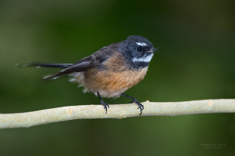 New Zealand Fantail, Tiritiri Matangi, NZ, March 2015-1.jpg