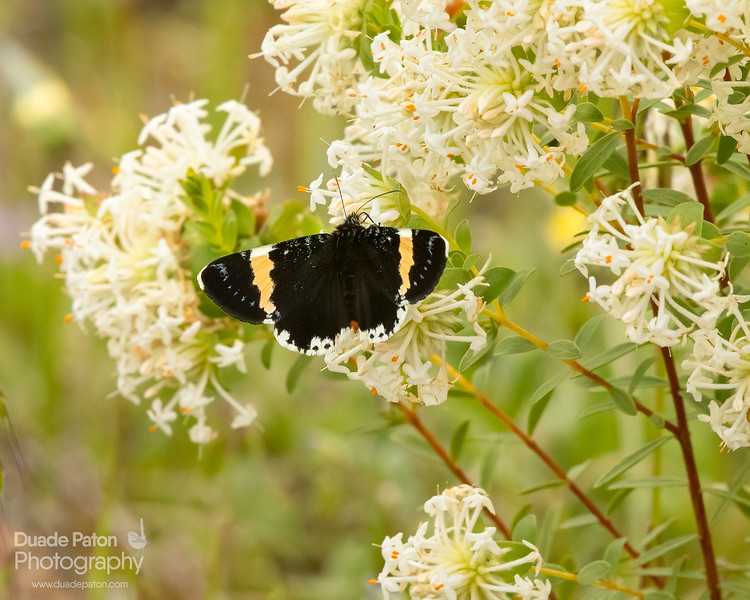 Yellow-banded Day-moth