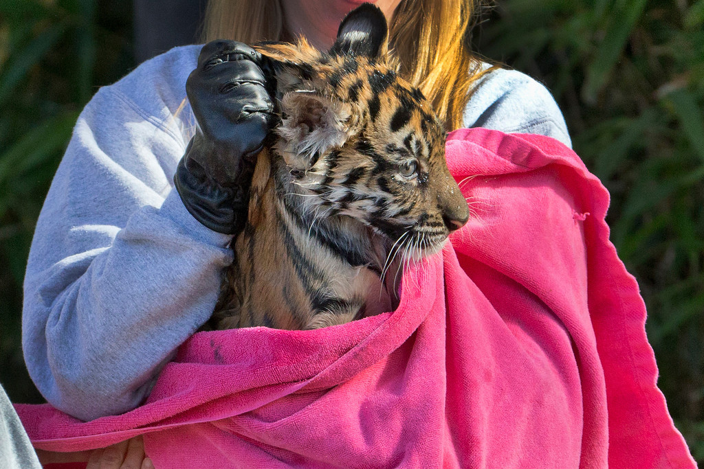 """. A three-month-old Sumatran tiger cub named \""""Sukacita\"""" is toweled off after passing her swim reliability test in the moat at the tiger exhibit at the National Zoo in Washington, Wednesday, Nov. 6, 2013. (AP Photo/Manuel Balce Ceneta)"""