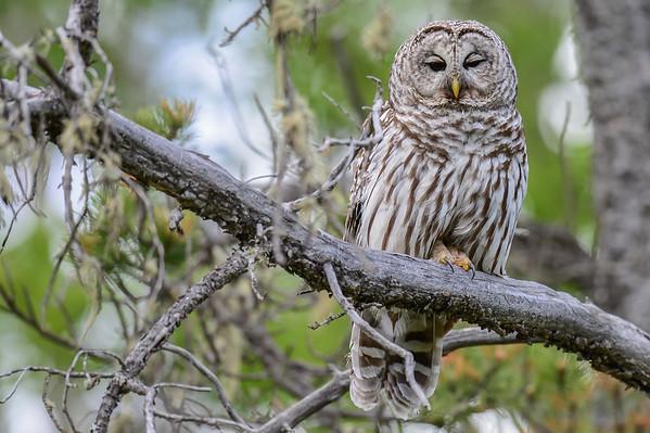 6 2013 Jun 12 Barred Owl Posing*