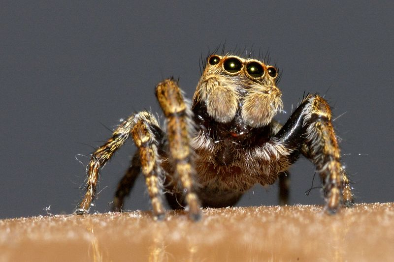 Jumping spider, Tamron 90 2.8 sp + Nikon 6T This picture shows the fangs and the large eyes.
