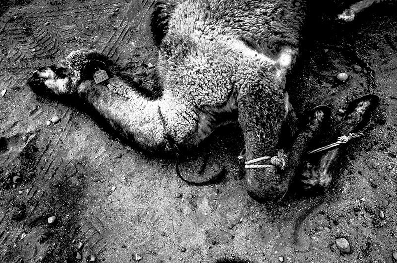 Paul Italiano_Camel.jpg