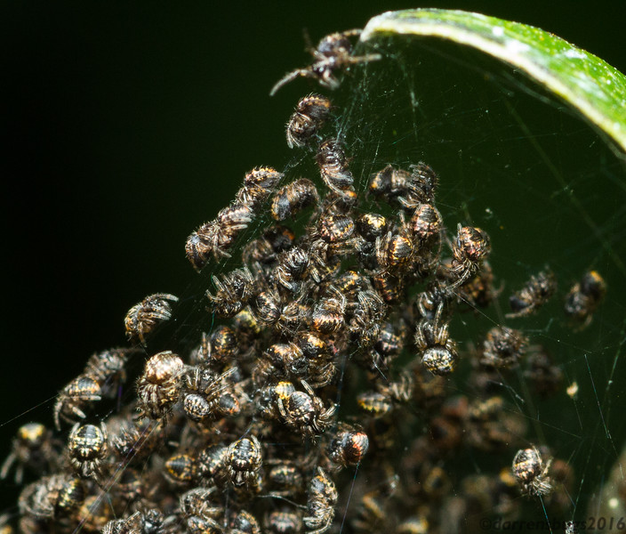 Freshly-hatched spiderlings from Chiang Mai, Thailand.