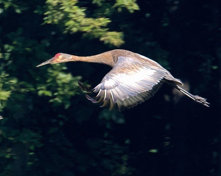 sh crane flight2.jpg