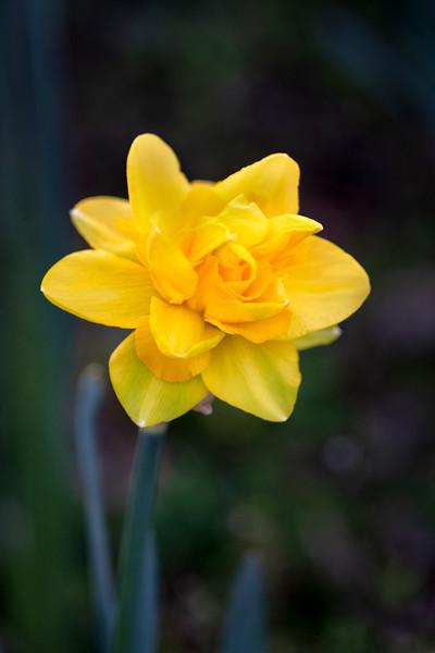 Daffodils032819-166.jpg