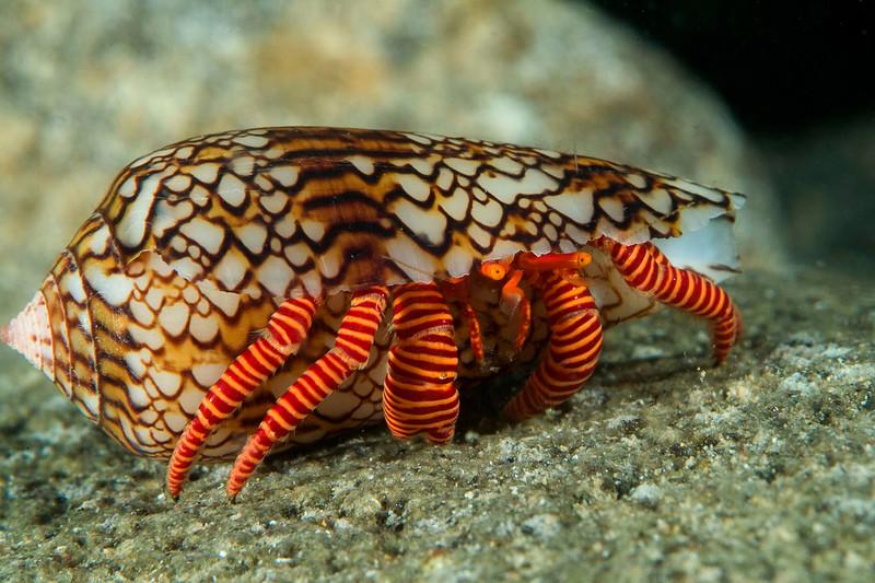 crab hermit banded.jpg