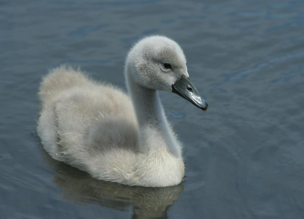 2008 - Rescuing Cygnets
