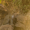 African leopard in Samburu