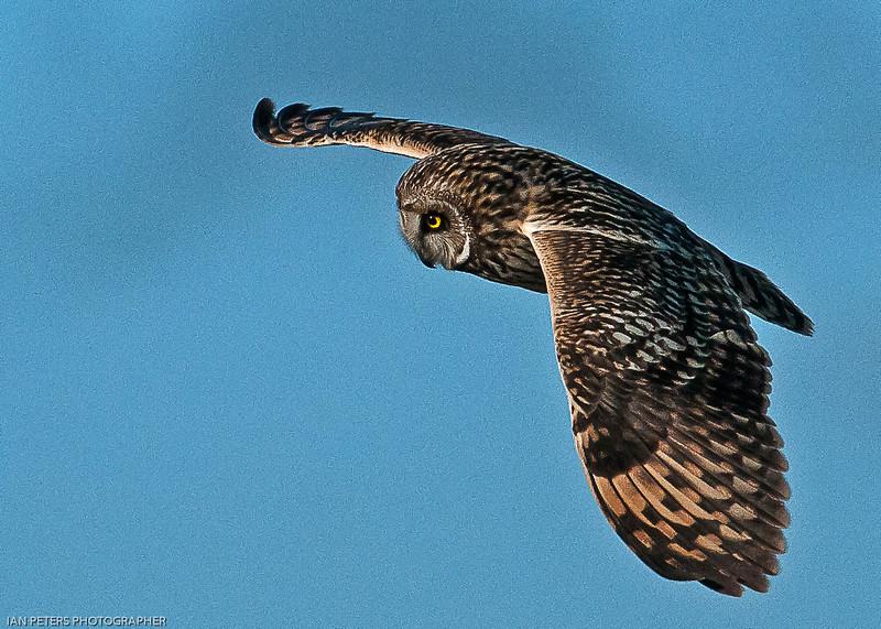Owl Short Eared-.jpg