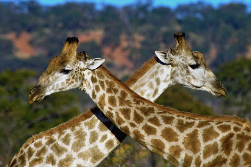 giraffe4-1.jpg