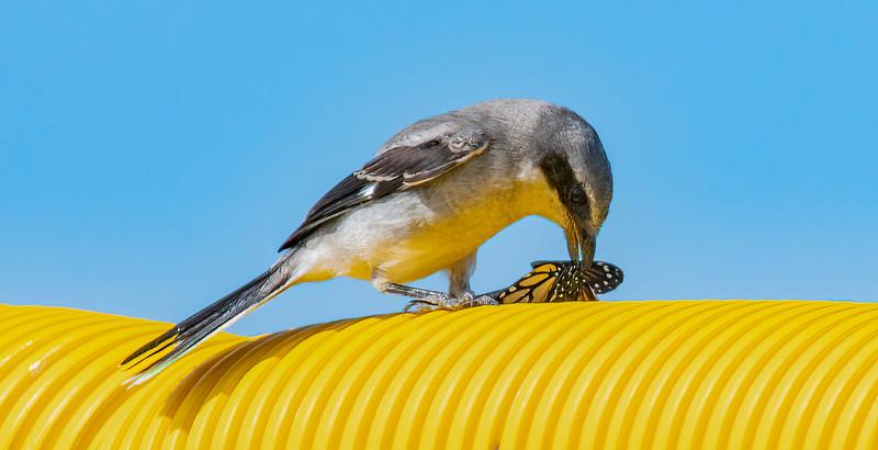 Bald Eagle BE994 Nest Satellite Beach - May 6, 2021
