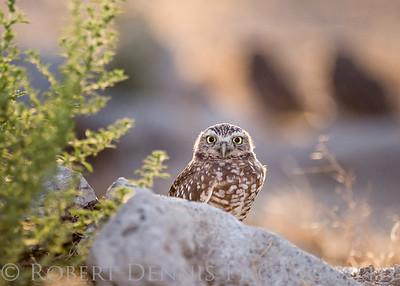 Burrowing Owls in Chino