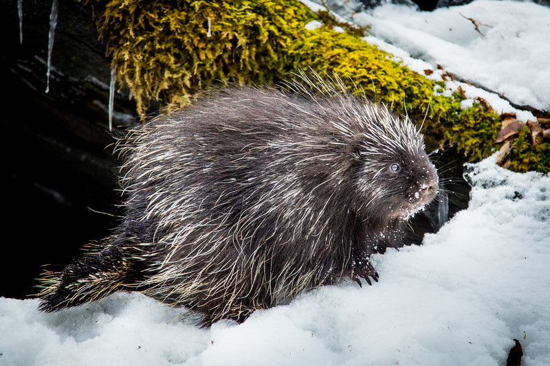 North American porcupine (Erethizon dorsatum), leaving its rocky den, Vermont, USA. (Habituated rescued individual returned to the wild)