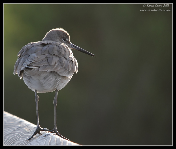 Close-up of a willet, Bolsa Chica Ecological Reserve, Orange County, California, February 2011