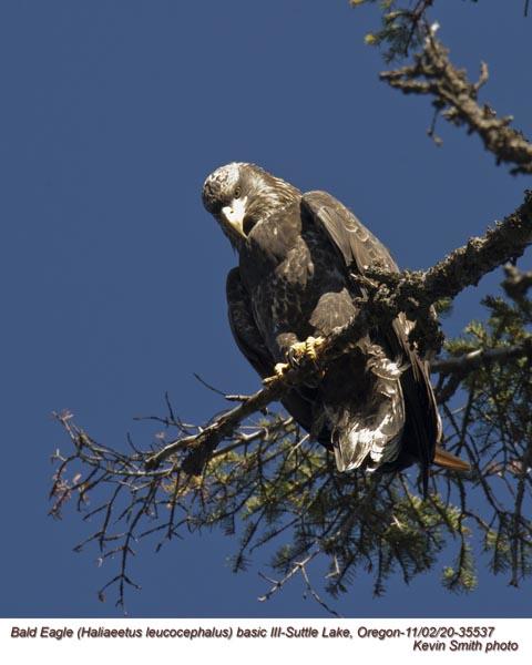Bald Eagle basic III 35537.jpg