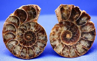 Jewelry Sizd Ammonites 309
