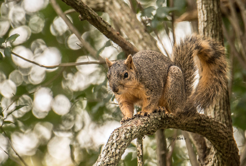 Tree Squirrel CB_DWL3625.jpg