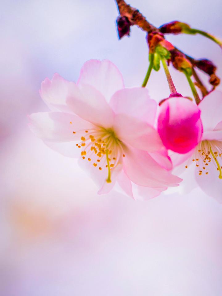 樱花,轻柔淡雅