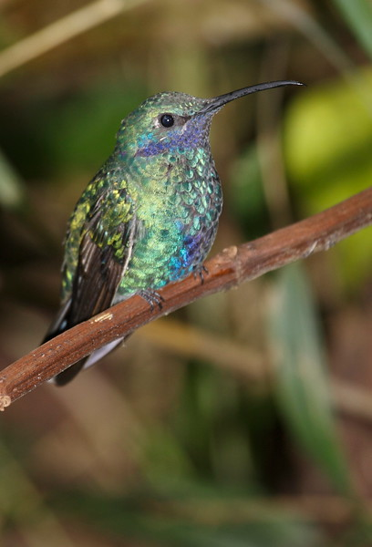 Green VioletEar Ecuador