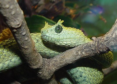 Atheris ceratophora