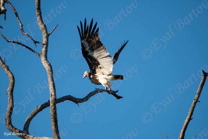 Whith Headed Vulture