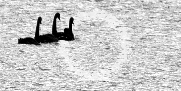 3 funky swans 1.jpg