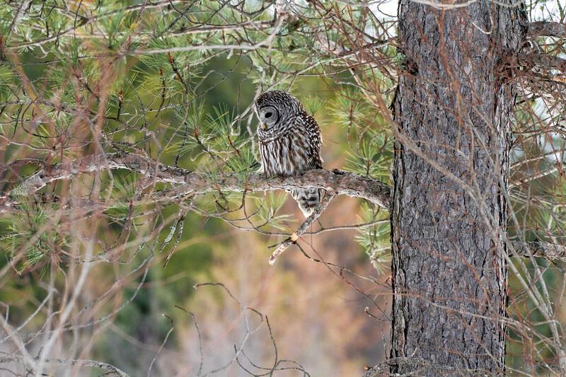 Barred Owl hunting Yellow-bellied Bog Peary Road Sax-Zim Bog MN IMG_0242.jpg