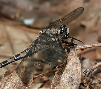 Petaluridae (Petaltails)