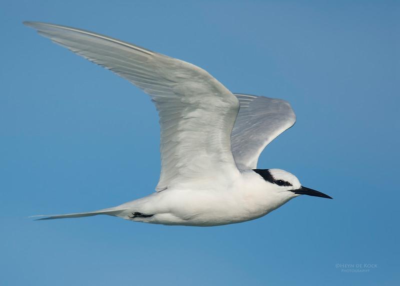 Black-naped Tern, Lady Elliot Island, QLD, Dec 2015-1.jpg