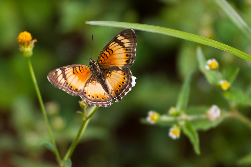 Butterfly (Entebbe Botanical Gardens)