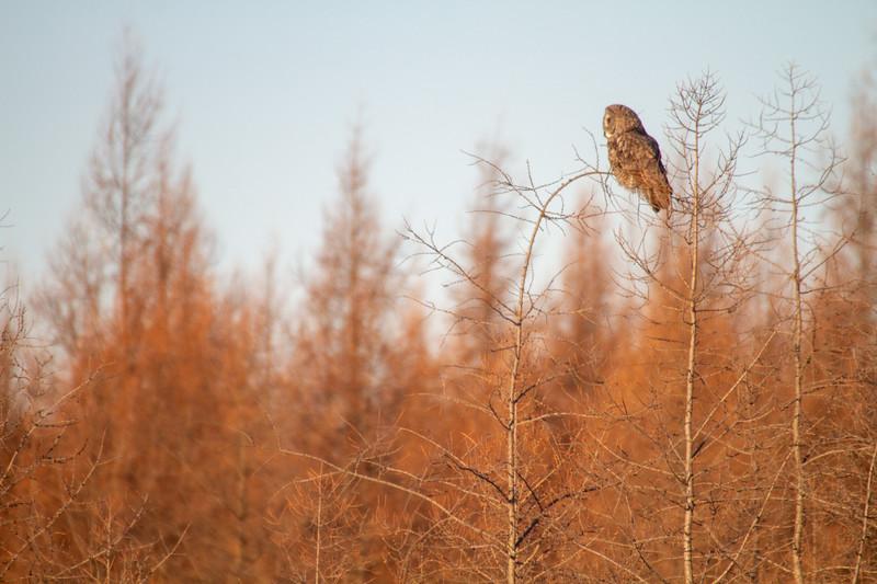 Great Gray Owl along CR27 Zim Road near Yoki Road Sax-Zim Bog MN IMG_0206.jpg