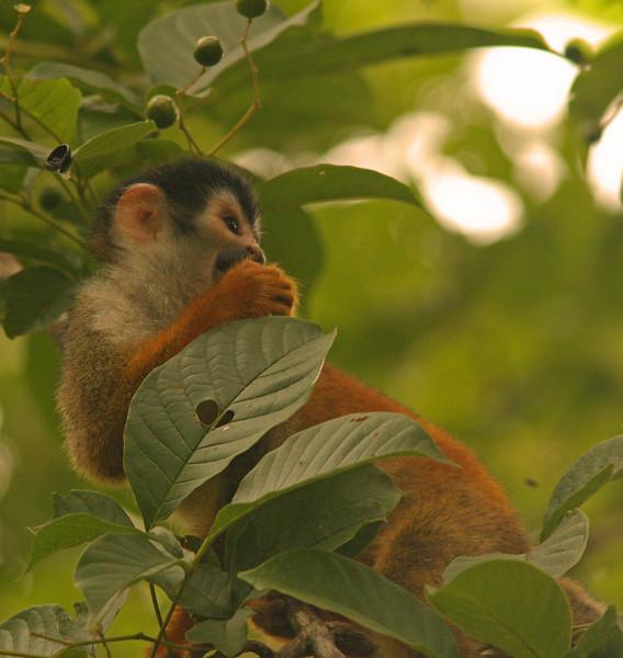 WB~CR White Faced monkey in tree1280.jpg