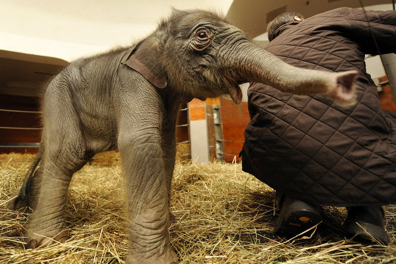 ". A two-day-old baby elephant named ""Jamuna Toni\"" investigates her enclosure at Hellabrunn Zoo in the southern German city of Munich. (JOERG KOCH/AFP/Getty Images)"