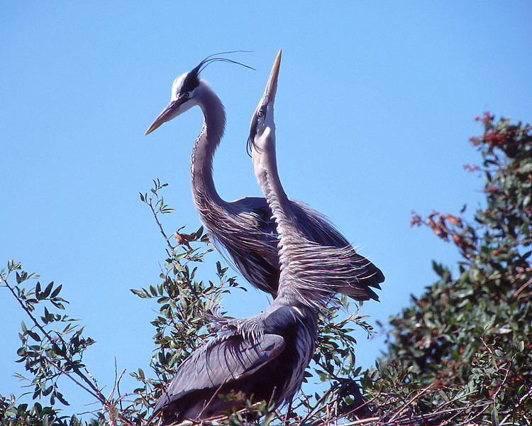 Great-Blue-Heron-Pair.jpg