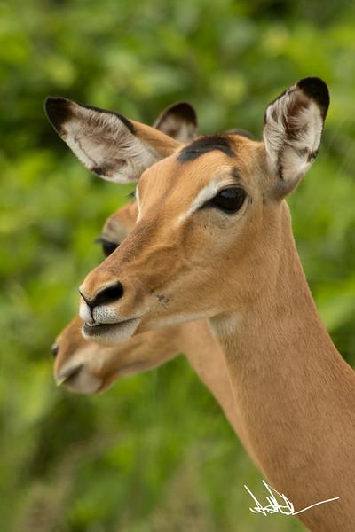 AntelopeS-6.jpg