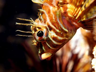Sculpin / Scorpionfish