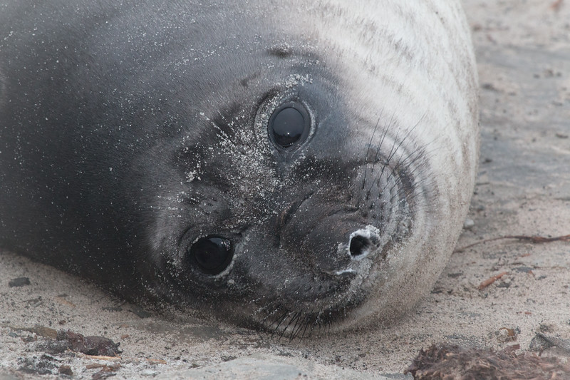 Southern elephant seal weaner, Sea Lion Island