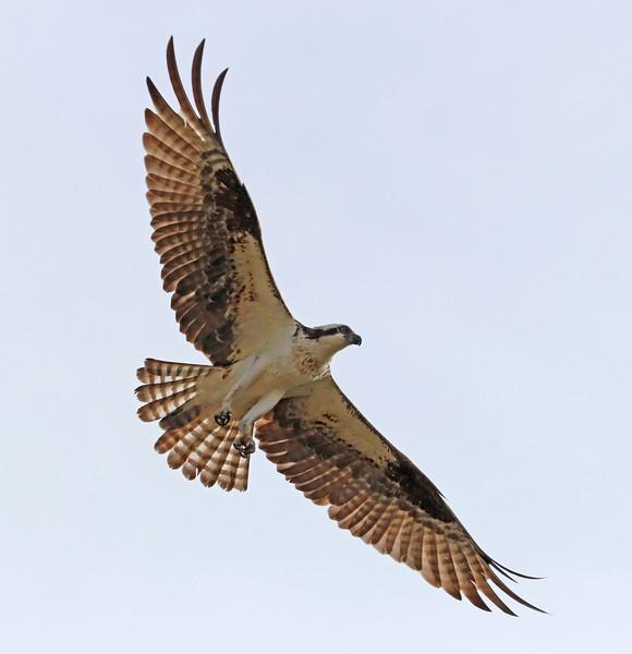 osprey 517.jpg