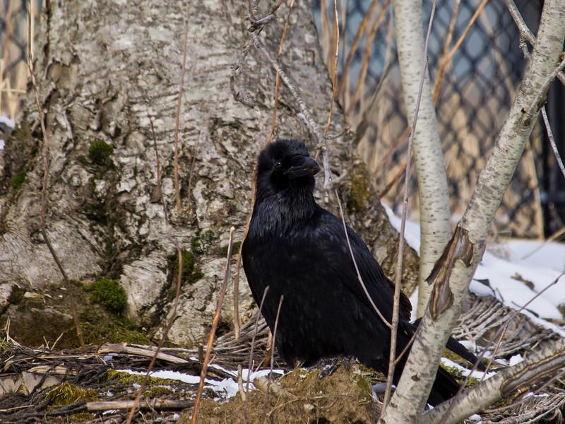 Raven near the new parking garage.