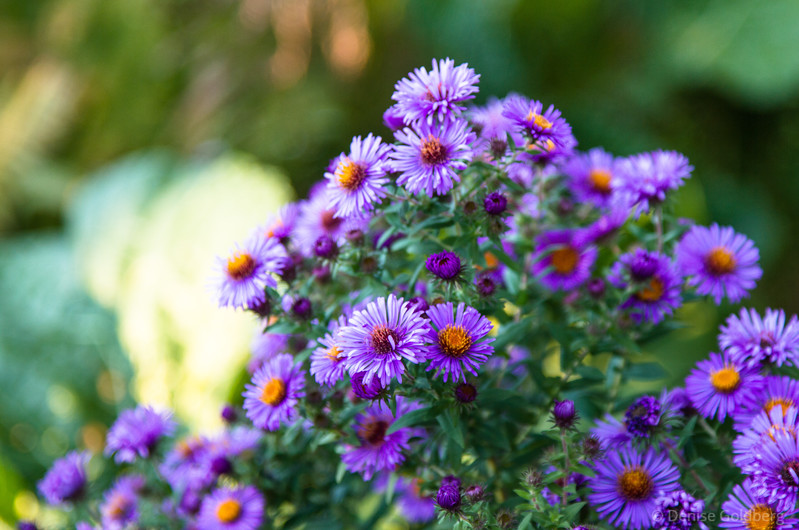 asters in lavender