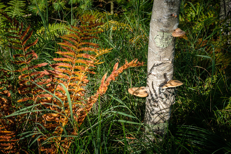 Birch Stand with Autumn Ferns and Toadstools
