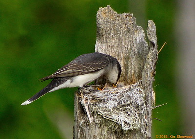 Eastern kingbird nest, 2015