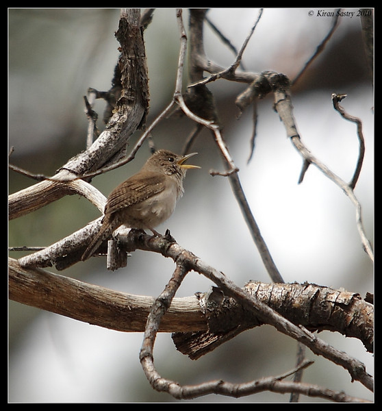House Wren, Cuyamaca Rancho State Park, San Diego County, California, March 2010