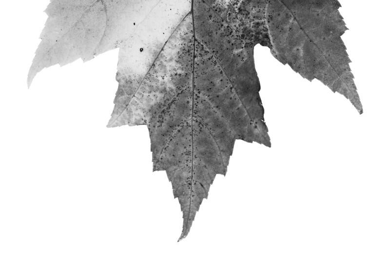 leaf_3151.jpg