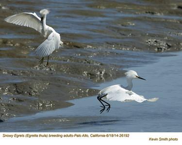 Snowy Egrets A26192.jpg