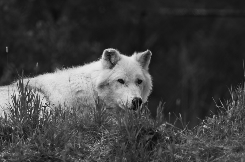 White Wolf BW.jpg