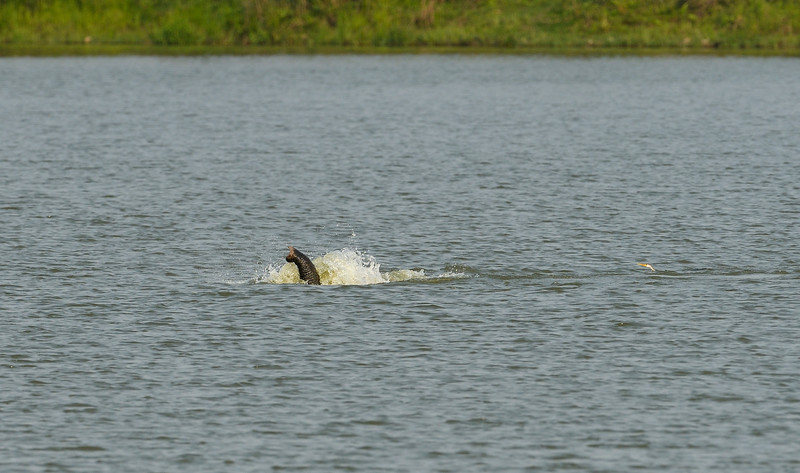 Elephant-swimming-across-lake-kaziranga-10-2.jpg